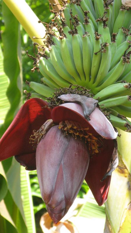 bananes1