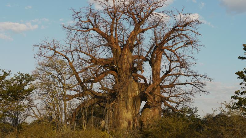 baobab1
